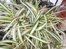 Spider plant 'White Lighting' varigated Green-White-Green 3 starters for sale