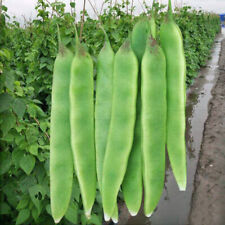 10 pcs Northeast China special oil beans (Phaseolus vulgaris) vegetable seeds