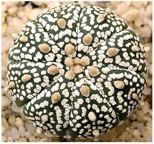 (10) Astrophytum Asterias Sand Dollar Cactus, Sea Urchin Cactus Seeds  FREE GIFT