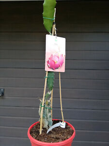 Pitaya roja, Drachenfruchtbaum