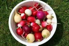 500 EASTER EGG RADISH MIX Vegetable Seeds + Free Gift