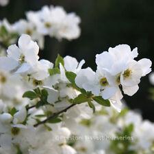 Exochorda The Bride Beautiful Spring Flowering Shrub 3 Litre Pot