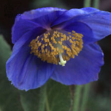 Blue Poppy Rare Flowers Plant Beautiful Petals 100 Seeds Perennial Garden Bloom