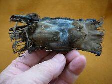 (s800-202) MELBOURNE SKATE egg case casing educational Spiniraja Whitleyi shark