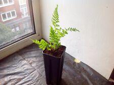 Plant: 1x Cyathea vieillardii- Rare Treefern -no Seeds
