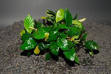 ANUBIAS COFFEEFOLIA ONE PLANT-Freshwater Aquatic Live Plants Fish Accessories-