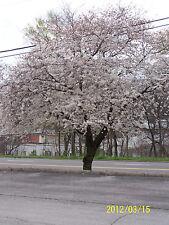 1 Yoshino Cherry Tree(Prunus yedoensis)