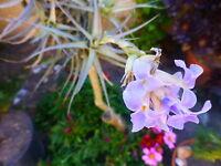 3 BELLES aériennes sans terre mais soleil  +verveine   de mon jardin+laurier