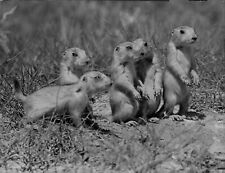 1948 Group of Young Prairie Dogs On Dry West Press Photo