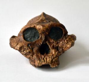 Paranthropus Boisei Skull Replica