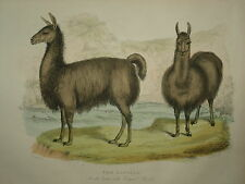 El alpacas de Buffon's Historia Natural. 1860 de Londres.