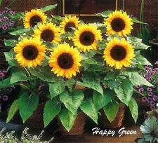 SUNSPOT - DWARF SUNFLOWER - 90 seeds  Helianthus Annuus Yellow ornamental flower