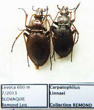 Carabus carpatophilus linnei (pair A2) from SLOVAKIA
