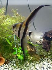 Qty 4/6/9/30 + free Silver Angelfish Veil Tail/Standard - pea/dime sized body