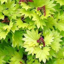 Acer  shirasawanum Kinkakure in 9cm pot ideal bonsai subject