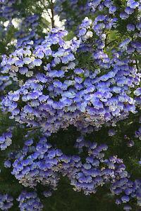 Psoralea Pinnata, Cold Hardy Kool Aid Shrub or Small Tree, 8 Seeds Garden Bonsai