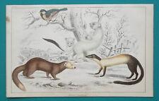 Mammals Ferret Weasel Ermine - 1853 Hand Colored Antique Print