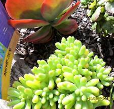 Succulent Sedum pachyphyllum Rose Jelly Bean Plant Young offsets x 2