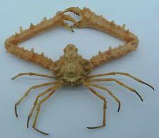 Crab Xanthasia murigera Crustacea Crab Taxidermy Oddities Curios