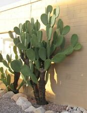 Opuntia ficus-indica Prickly Pear, spineless cactus, nopal pads, superfood