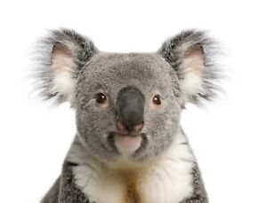 "Reproduction Cute Koala Bear Poster, Home Wall Art, Size 10"" x 10"""