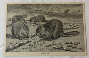 1889 magazine engraving ~ BEAVERS AT WORK