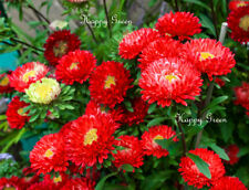 Aster Dwarf Milady Scarlet - 400 seeds - Callistephus ch. - Double large flower