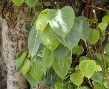 200+ Ficus religiosa seeds sacred fig bodhi tree peepul tree Bonsai Seed