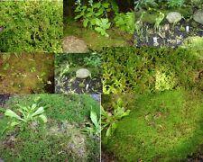 2 x Sphagnum-Torfmoos lebend –für Moorbeet-Terraristik-Karnivoren-Orchideen