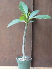 Plumeria Rooted Seedling Live Plant Beautiful Fragrant Flowering Shrub Exotic