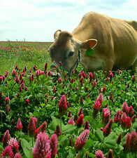 "Crimson Clover Seeds Deer "" Excellent Turkey Food Plot "" 1 Lb"