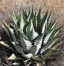 AGAVE Durangensis 15 SEEDS FREE SHIPPING
