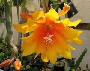 """Epiphyllum Orchid Cactus 6 - 8"""" Cutting Acapulco Sunset"""