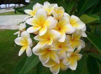 Frangipani PLUMERIA Rubra Lei Egg Flower Seeds Home Garden Plumeria Rubra Seeds
