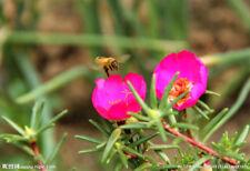 20 Mixed Color Moss-rose Purslane Double Flower Seeds (Portulaca grandiflora)