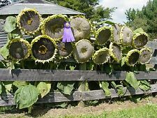 """Sunflower """"Mongolian Giant"""" Largest Sunflower In The World  Great For Eating!"""