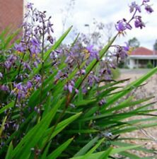 LITTLE JESS Dianella caerulea native border grass plant in 120mm pot