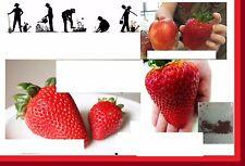 100x Riesen Erdbeeren groß wie ein Apfel Samen Pflanze Garten essbar Obst #155