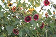 Sonnenblume verschiedene Farben Mix 30 Samen