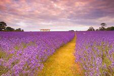 Lavender Seeds- Italian Heirloom Herb - 200+ 2015 Seeds    $1.69 Max Ship./order