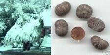Himalaya-Palme/transplantarse como impresionante secoya o como bonsai/semillas