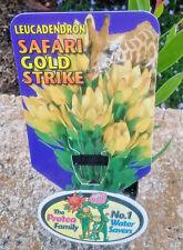 Leucadendron Safari Gold Strike in 75mm tube (Leucadendron and Protea)cut flower