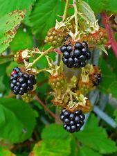 Rubus fruticosus - Blackberry - 50  Seeds