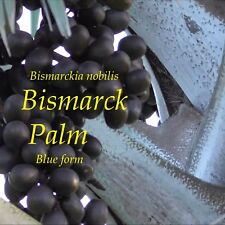 ~BLUE BISMARK PALM~ Bismarckia Nobilis 10 Tree SEEDS from Hawaii Easy Grow