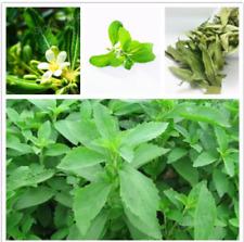 Stevia Seeds Sweet Leaf (Stevia rebaudiana) Garden Herb Plant 20 seeds