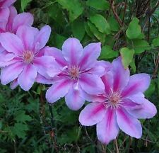"Pope John Paul Ii Clematis Vine - Potted - Magestic - 2.5"" Pot"