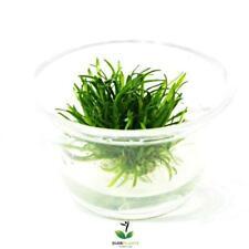 New listing Cryptocoryne Parva Mini Tissue Culture Buy2Get1 Live Aquarium Plants Decoration