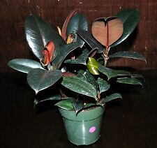"Burgundy Ficus Rubber Tree Large 6"" Pot Excellent Interior Tropical Houseplant"