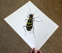 Durin Print TIGER BEETLE/Beetles Insects NICE L@@K!