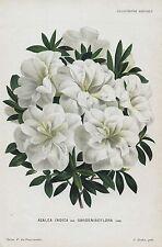 1882 AZALEA INDICA Genuine Antique Botanical Print LINDEN
